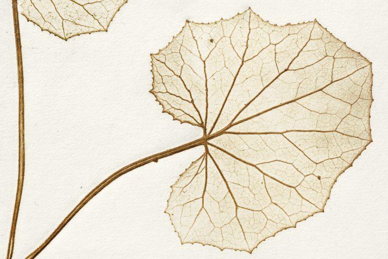 Aus der Serie THE PENCIL OF NATURE, Naturselbstdruck (Rupprechtskraut, Detail)
